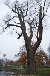 Canadese populier (Populus x canadensis - 'Marilandica'), Arnhem