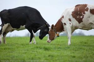 Koeien in Gronings weidelandschap