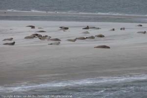Zeehonden (vooral gewone) op zandplaat tussen Ameland en Tersche